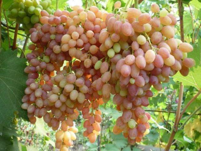 Крупные объемные кисти винограда с ягодами розовой и желтой расцветок