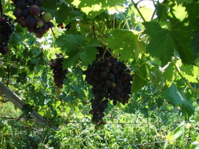 Виноградная лоза с кистями созревающих ягод на садовой перголе