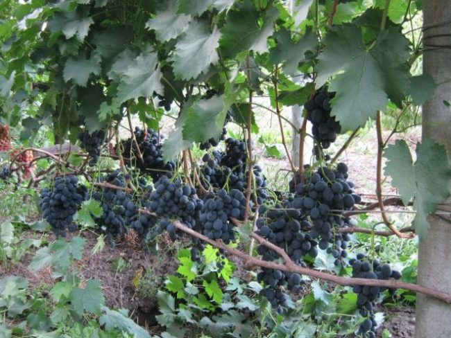 Куст винограда со спелыми гроздьями ягод и темно-зелеными листьями