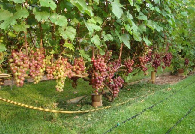 Виноградная лоза с гроздьями созревающих плодов на шпалере и поливные шланги на траве