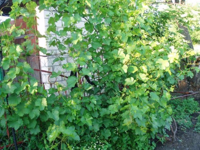 Рослый куст винограда на трехметровой шпалере и кирпичная стена на заднем плане