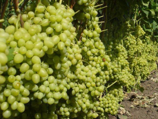 Обильный урожай столового винограда на промышленной плантации