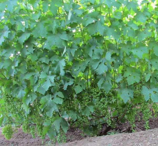 Виноградный куст с зелеными листьями и гроздьями ягод в начале лета
