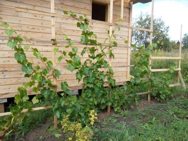 Виноградная лоза на деревянной шпалере вдоль стены хозяйственной постройки