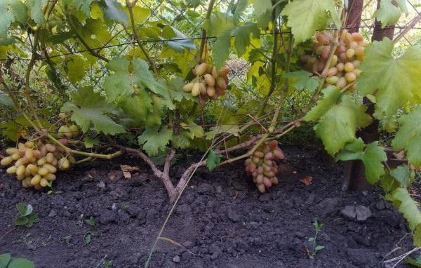 Куст винограда гибридного сорта Юбилей Новочеркасска на шпалере и созревающие грозди ягод