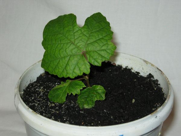 Молодой сеянец винограда в цветочном горшке, выращенный из косточки в домашних условиях