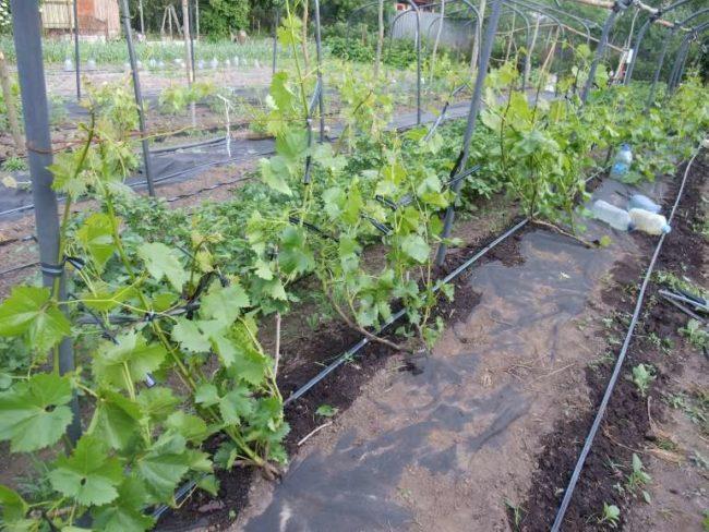 Молодые кусты винограда на длинных шпалерах и трубки капельного орошения на поверхности земли