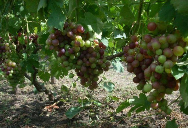 Куст винограда гибридного сорта Рошфор и грозди с ягодами различной степени спелости