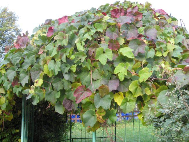 Лиана Амурского винограда на металлическом заборе и листья различного окраса