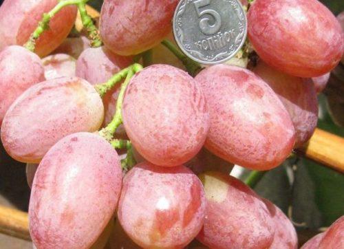 Спелые плоды винограда сорта Анюта розового оттенка и монетка