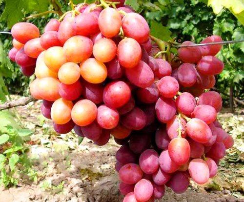 Грозди спелых ягод винограда сорта Анюта