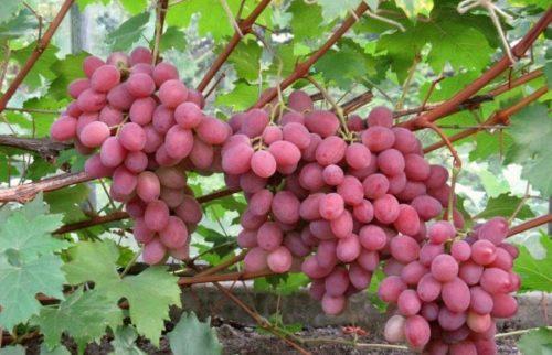 Грозди со спелыми ягодами на ветках виноградного куста сорта Анюта