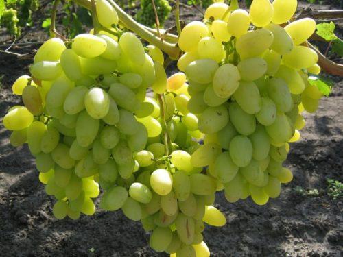 Три крупные грозди столового винограда сорта Аркадия с ягодами салатового оттенка