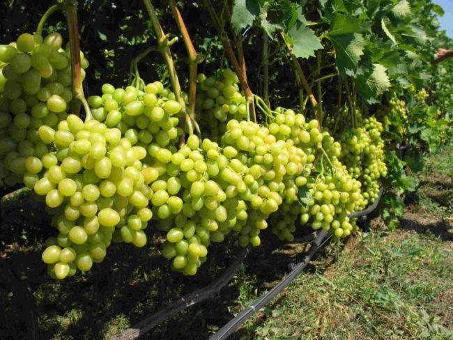 Виноградная лоза гибридного сорта Аркадия и шланги капельного полива