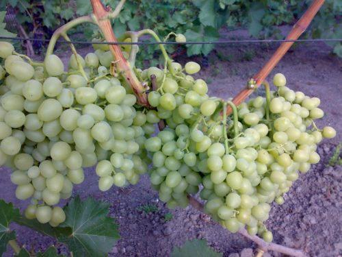 Одеревеневшая ветка винограда с гроздьями цилиндрической формы и проволока шпалеры