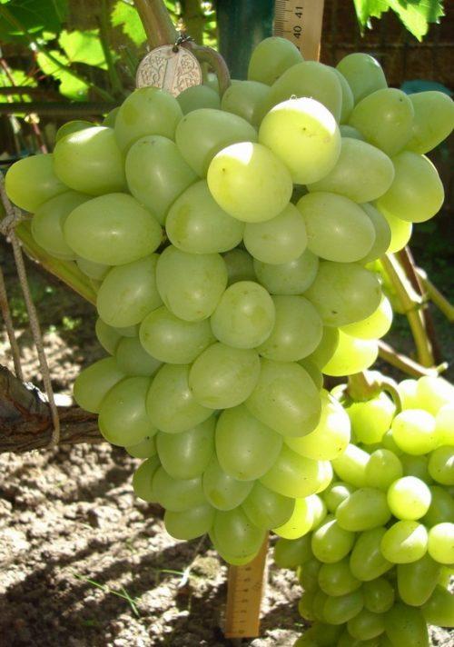 Кисть десертного винограда сорта Аркадия крупным планом