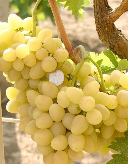 Объемистая кисть винограда гибридного сорта Аркадия на ветке и монетка