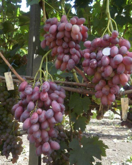 Большие кисти спелого винограда вегетативной формы Ася на ветках и монетка