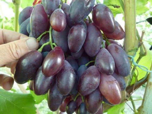 Блестящие ягоды винограда красно-фиолетового окраса крупным планом