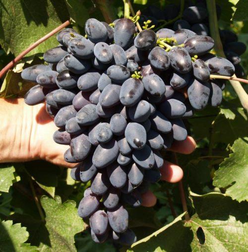 Крупная гроздь винограда сорта Атос с пальчиковыми ягодами