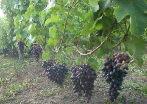 Куст винограда гибридного сорта Атос от селекционера Бондарчука