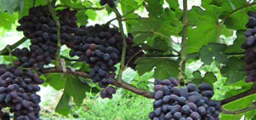Спелые грозди сорта винограда Атос на кусте