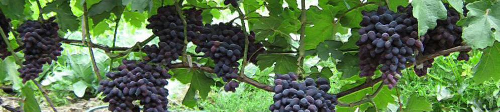 Виноград атос описание сорта фото отзывы