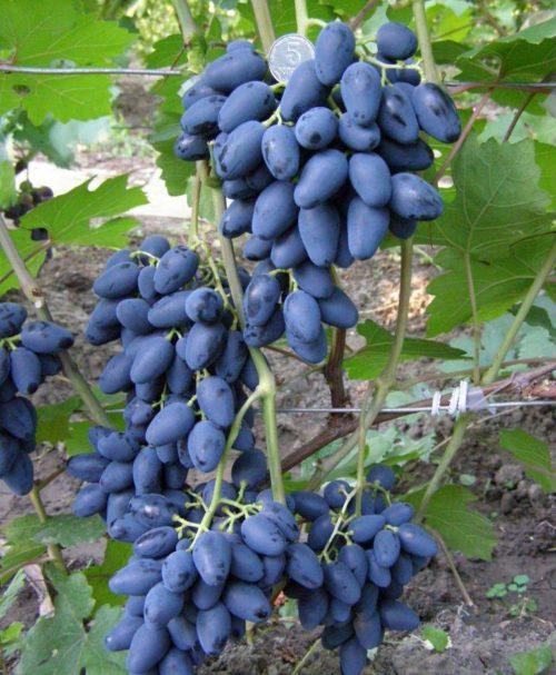 Кисти спелого винограда гибридного сорта Атос с плодами темно-синего цвета