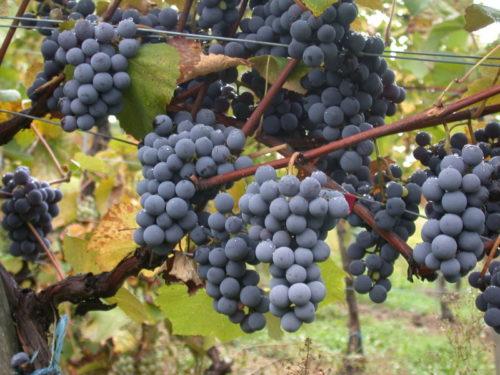 Виноградная лоза сорта Аттика греческой селекции