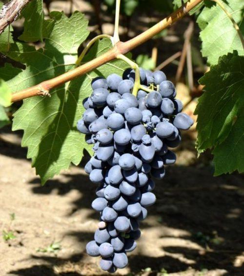 Спелая гроздь винограда столового сорта Аттика с ягодами пурпурно-синего цвета