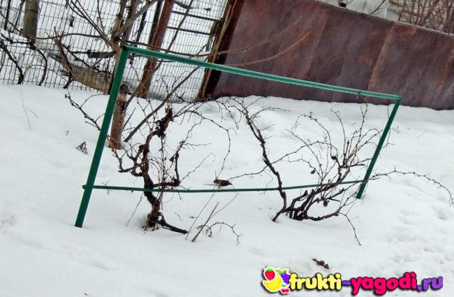 Не укрывной сорт винограда на Кавказе зимой без укрытия
