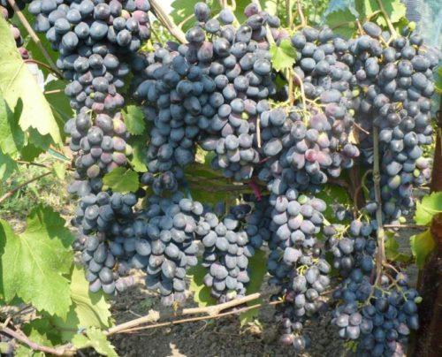 Спелые грозди винограда гибридной формы Чарли в конце августа