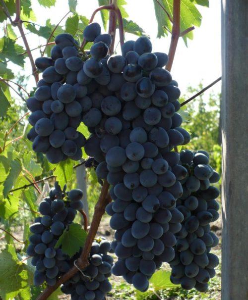 Грозди спелого винограда столового сорта Антрацит на стадии полного созревания плодов