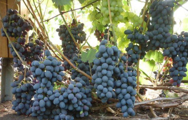 Спелые грозди винограда морозоустойчивого сорта на ветках и деревянный столб шпалеры