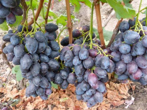 Виноградная лоза с гроздьями созревших ягод гибридной формы Фурор