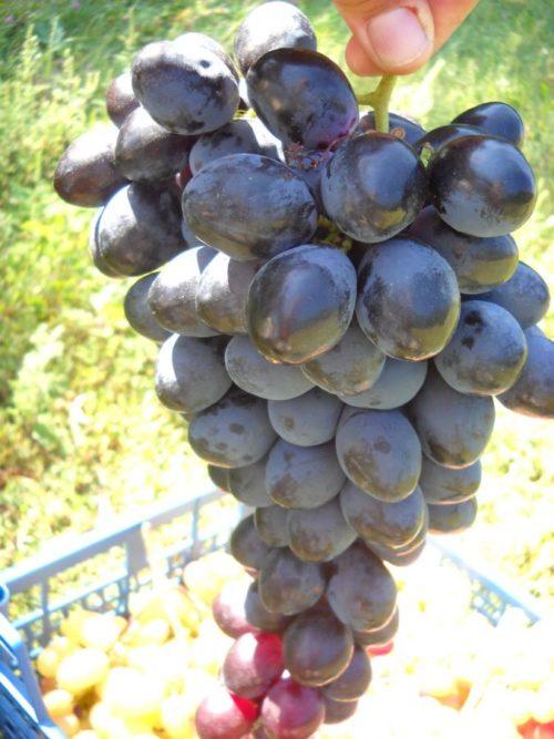 Кисть спелого винограда гибридного сорта Фурор от селекционера Капелюшного