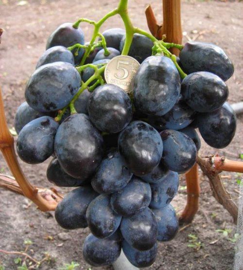 Гроздь винограда сорта Фурор с глянцевыми плодами темно-синего оттенка