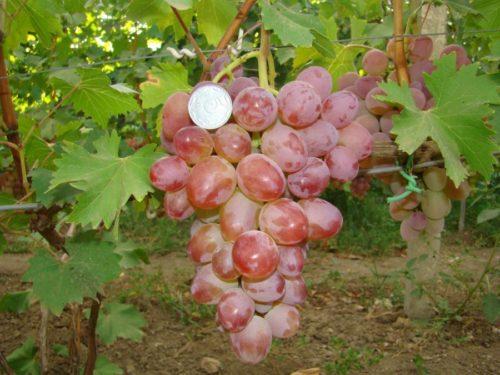 Крупная гроздь винограда сорта Гелиос на крепкой плодоножке и монетка