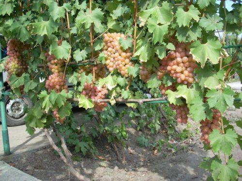 Куст винограда сорта Гелиос с крупными гроздьями зреющих ягод