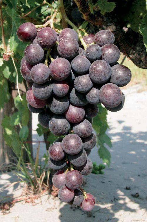 Кисть винограда сорта Кардинал, выведенного в Калифорнии