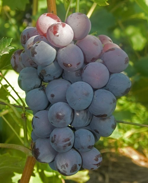 Гроздь винограда Кардинал с шаровидными ягодами темно-фиолетового цвета