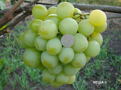 Объёмистая кисть винограда сорта Кеша 1 с крупными плодами и монетка