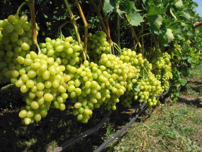 Крупные грозди созревающего винограда на толстых ветках и поливной шланг под кустом