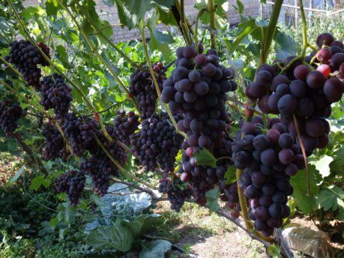 Куст винограда Кодрянка и кисти со спелыми и сочными ягодами темно-фиолетового окраса