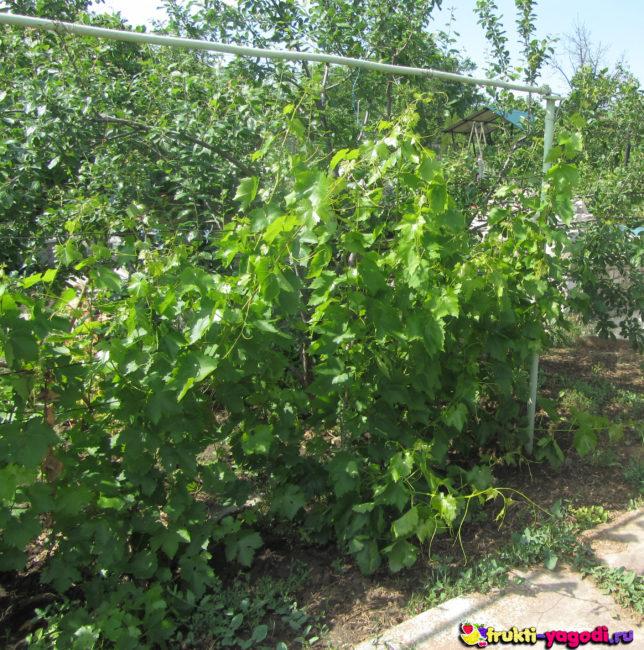 Куст винограда в запущенном состоянии средняя полоса России