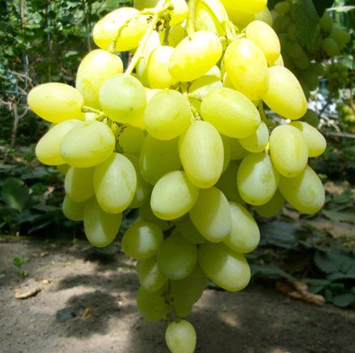 Крупная гроздь винограда гибридного сорта Ландыш, выведенного селекционером-любителем