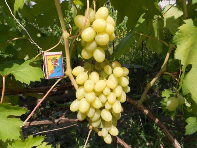 Грозди спелого винограда гибридной формы Ландыш на толстых и крепких ветках