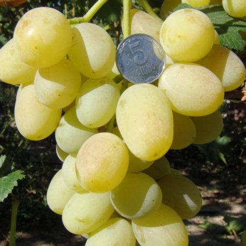Кисть винограда Ландыш среднераннего срока созревания с крупными плодами желто-зеленого цвета