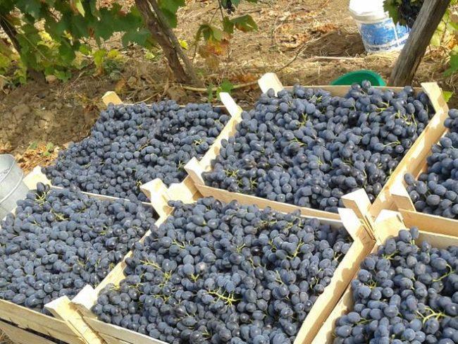 Виноград сорта Молдова позднего срока созревания в деревянных ящиках