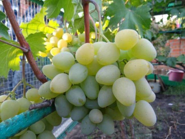 Спелая гроздь винограда Монарх любительской селекции в конце августа, период массового сбора урожая